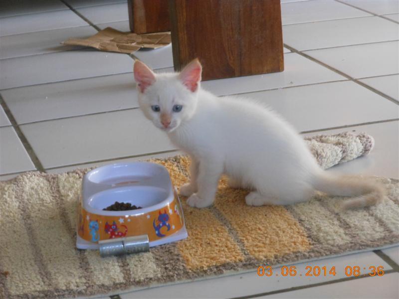 Magnifique chaton tout blanc, aux yeux bleus