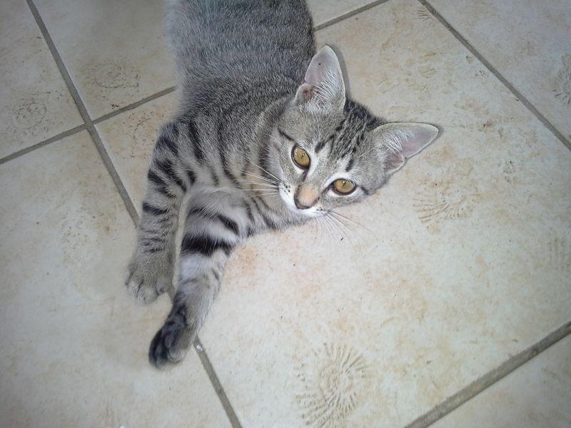 Ce chaton deviendra un magnifique tigré à poils longs