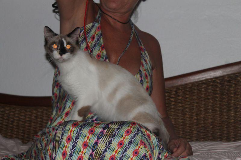 Avez-vous perdu cette chatte siamoise à Convenance Baie Mahault ?