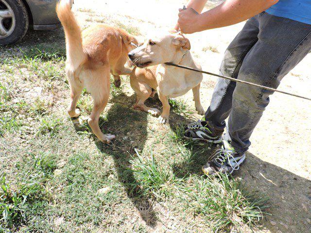 JATANE - 2 ans - croisé labrador basset - castré - adopté