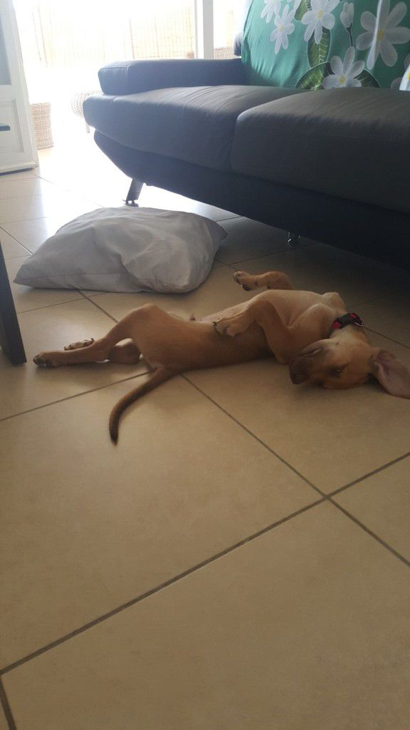 LAGOON - croisé labrador - 2 mois - adopté
