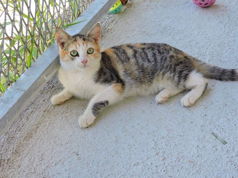 CRACOTTE - chaton femelle 5 mois - adoptée