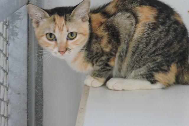 SUGAR s'appelle MIMI - femelle tricolore - adoptée à 5 mois
