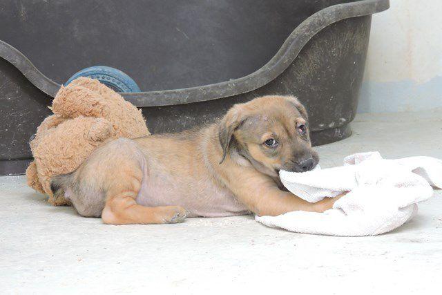 EYES - femelle croisée labrador - née le 17/12/2016 - à adopter