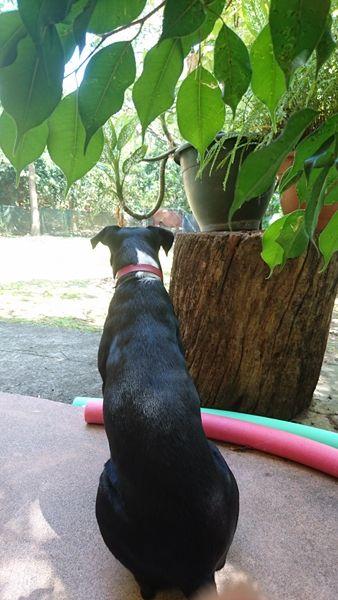 PENNY s'appelle GOLDIE - femelle créole - née novembre 2015 - adoptée