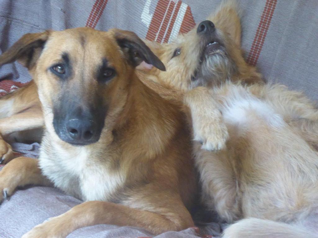CHERCHONS FAMILLE D'ACCUEIL - SCOOBY - croisé berger malinois - né le 30 mars 2016 - à adopter