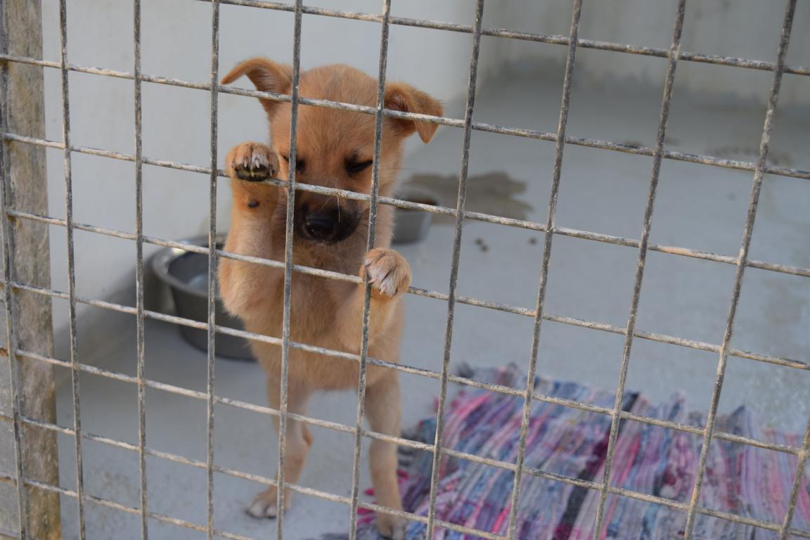 LITTLE JOY s'appelle CHOUCHOU - chiot femelle - née le 09/03/2017 - sera un chien de petite taille - adoptée