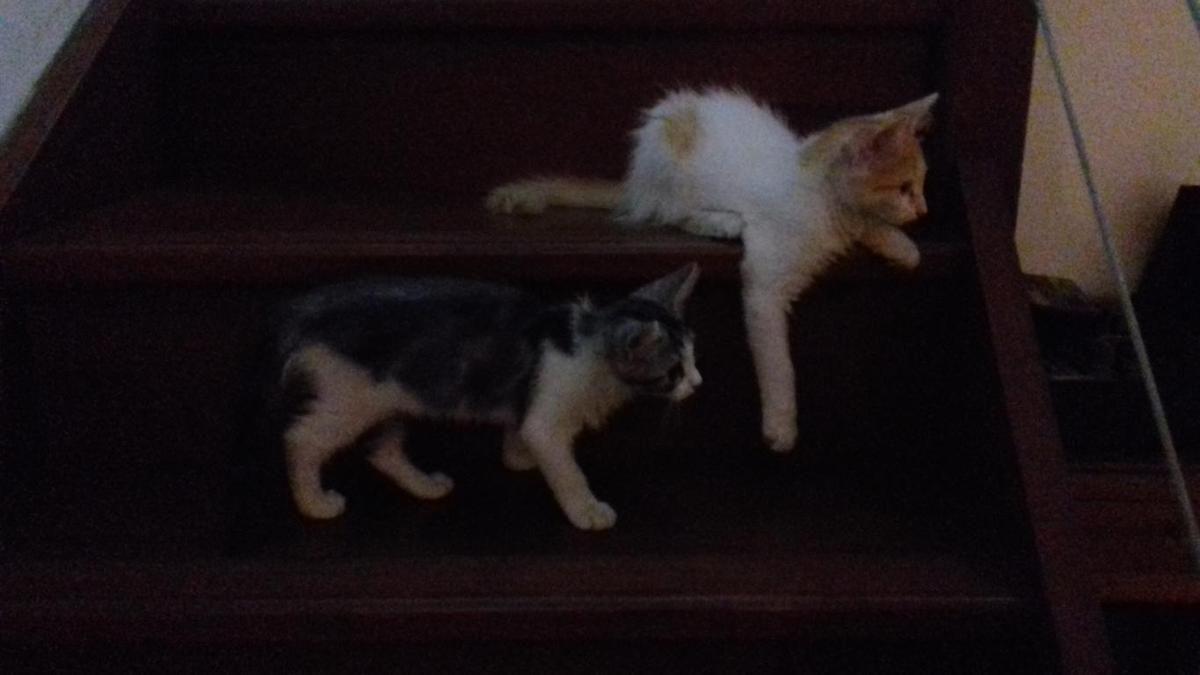 SUN s'appelle REGLIS et SHINE s'appelle CARAMEL - chatons - 2 mois - adoptés
