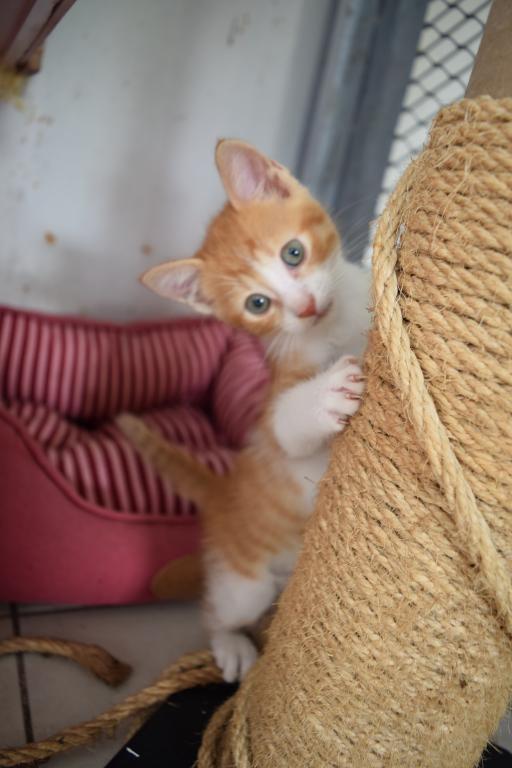 LULU  - chaton - né le 25/04/2017 - adopté
