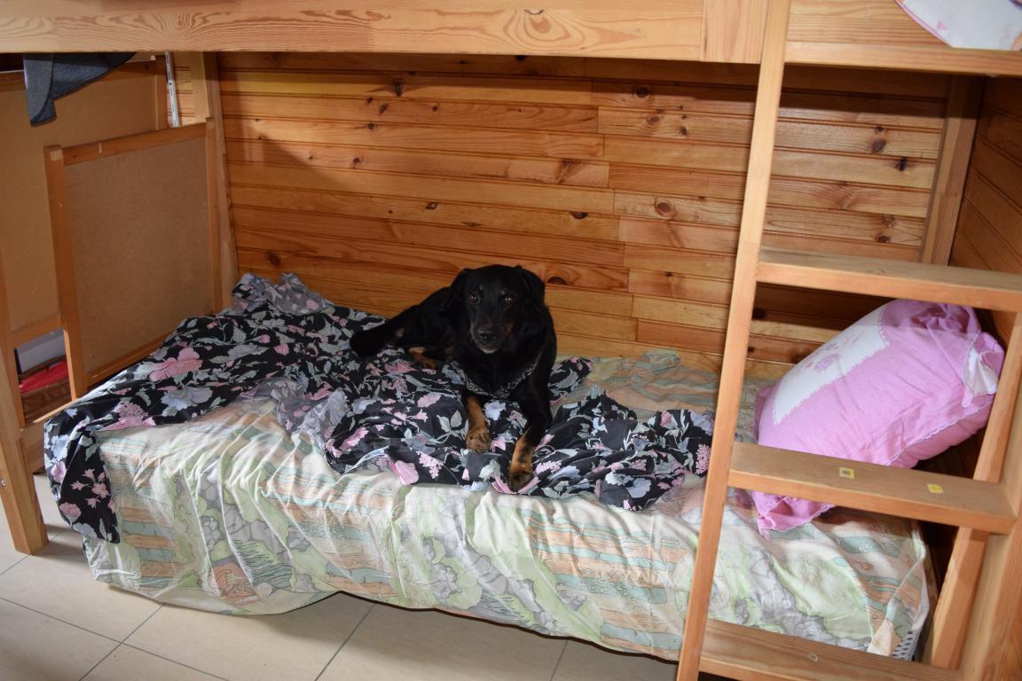 FILAO - croisé beauceron - mâle - né le 01 janvier 2015 - adopté