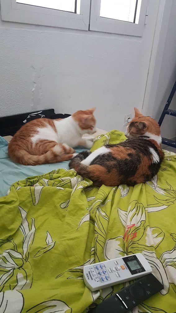 CLEO - chaton tricolore - 2 mois et demi - adoptée