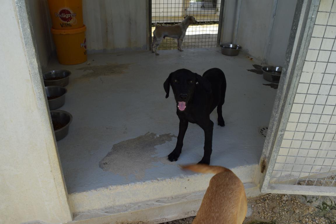 EVY - femelle noire croisée labrador - née le 04 mars 2017 - à adopter
