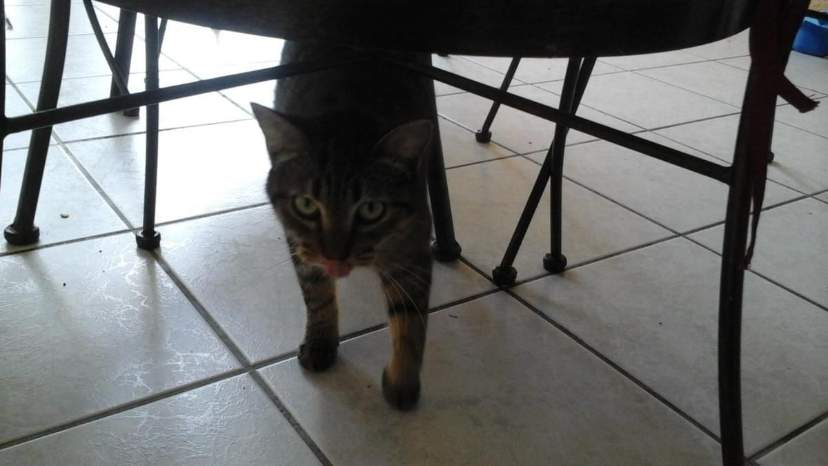 DOLCE s'appelle JOYCE - chatte gris cendré - stérilisée - 9 mois - adoptée