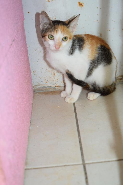 SIWO mâle roux et blanc - TRICO tricolore femelle - MIELLE femelle rousse et blanche - 3 chatons de 2 mois - à adopter