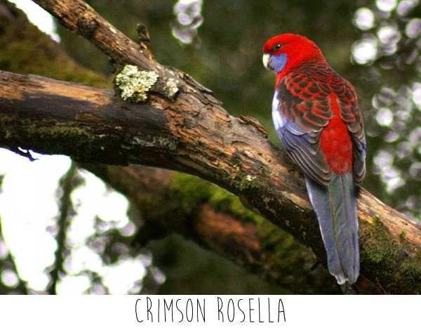 Les perroquets australiens