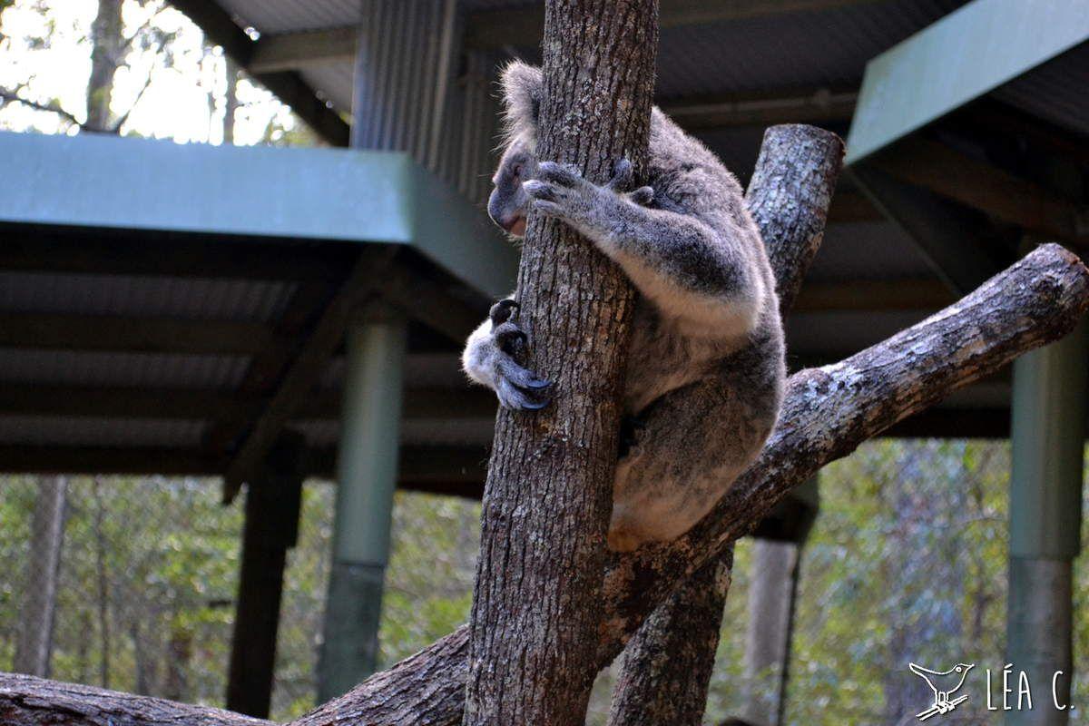 Daisy Hill Koala Centre #1