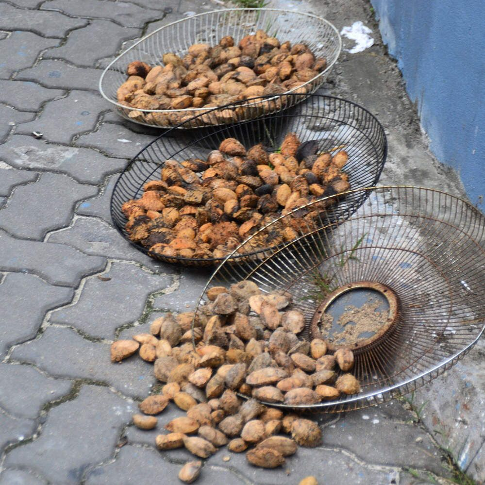 Drying of Areca nuts