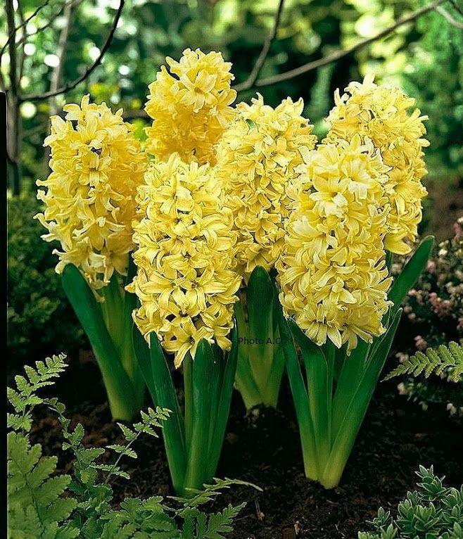 fleur bulbe printemps fabulous planter des bulbes de fleurs with fleur bulbe printemps massif. Black Bedroom Furniture Sets. Home Design Ideas