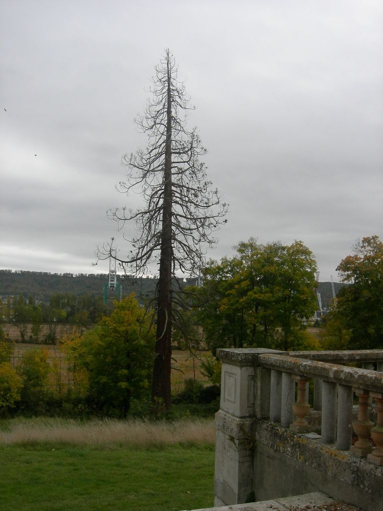 Sequoia du chateau