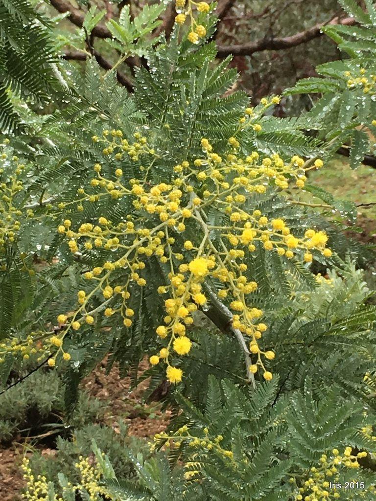 Petits pompons jaunes du mimosa