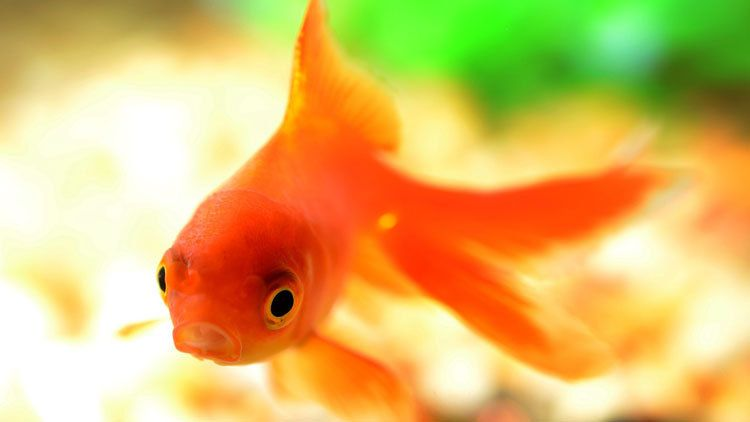 M moire de poisson rouge ou sc ne ordinaire d 39 un samedi for Ou placer aquarium poisson rouge