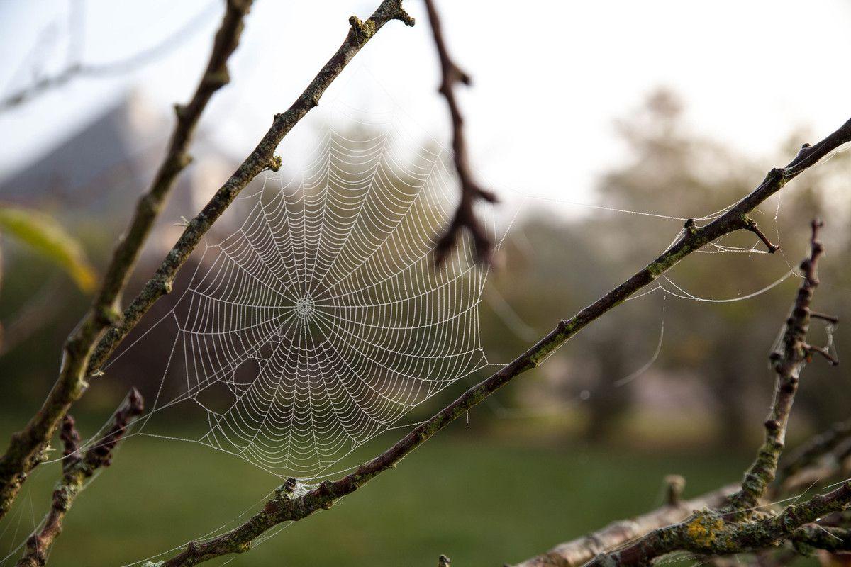 L'arbre araignée