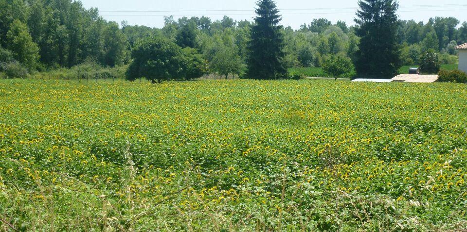 Les Pyrénées, les premières fleurs de tournesol et le fronton de pelote basque