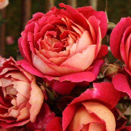 Ce rosier Reine Sammut de Guillot est un vrai coup de coeur également. Je le veux absolument.