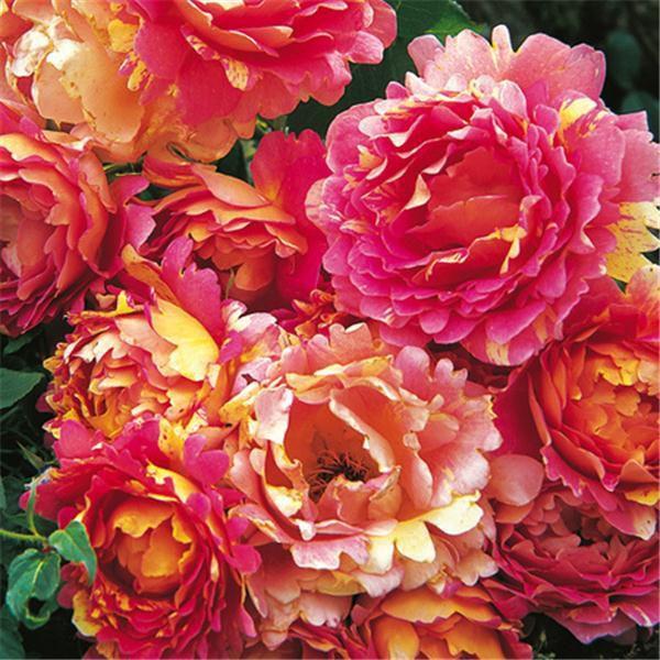 Rose des Cisterciens chez Delbard trop trop belle