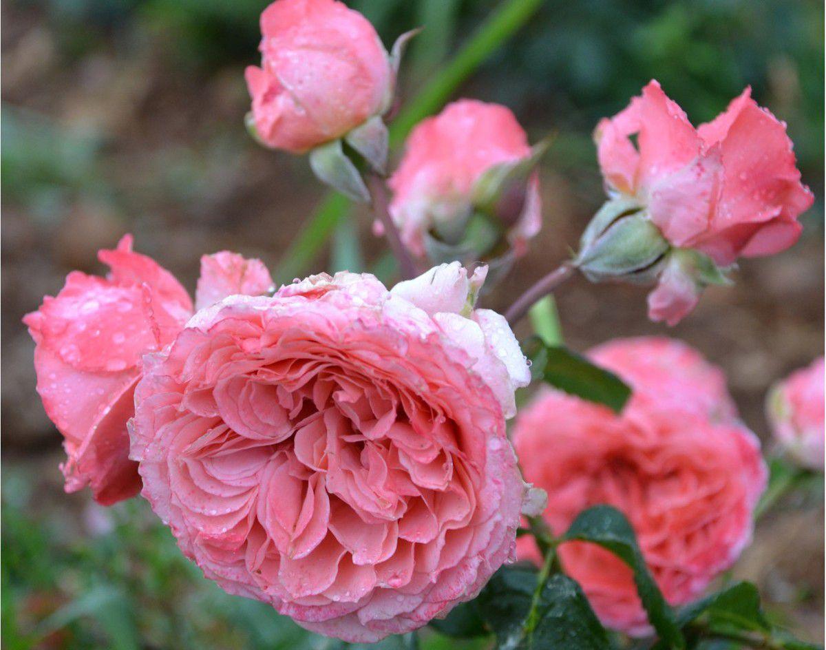 Une nouveauté : la rose Laurent Cabrol chez Guillot