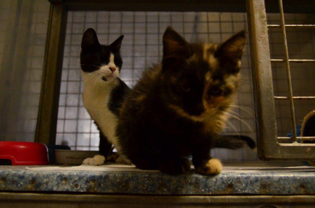 Elle est adoptée !!! : IVY, chaton femelle de 10 semaines