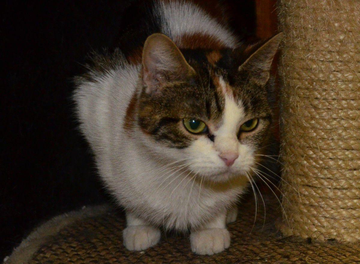 Elle est adoptée !!!  : DOLCE, femelle tricolore d'1 an environ