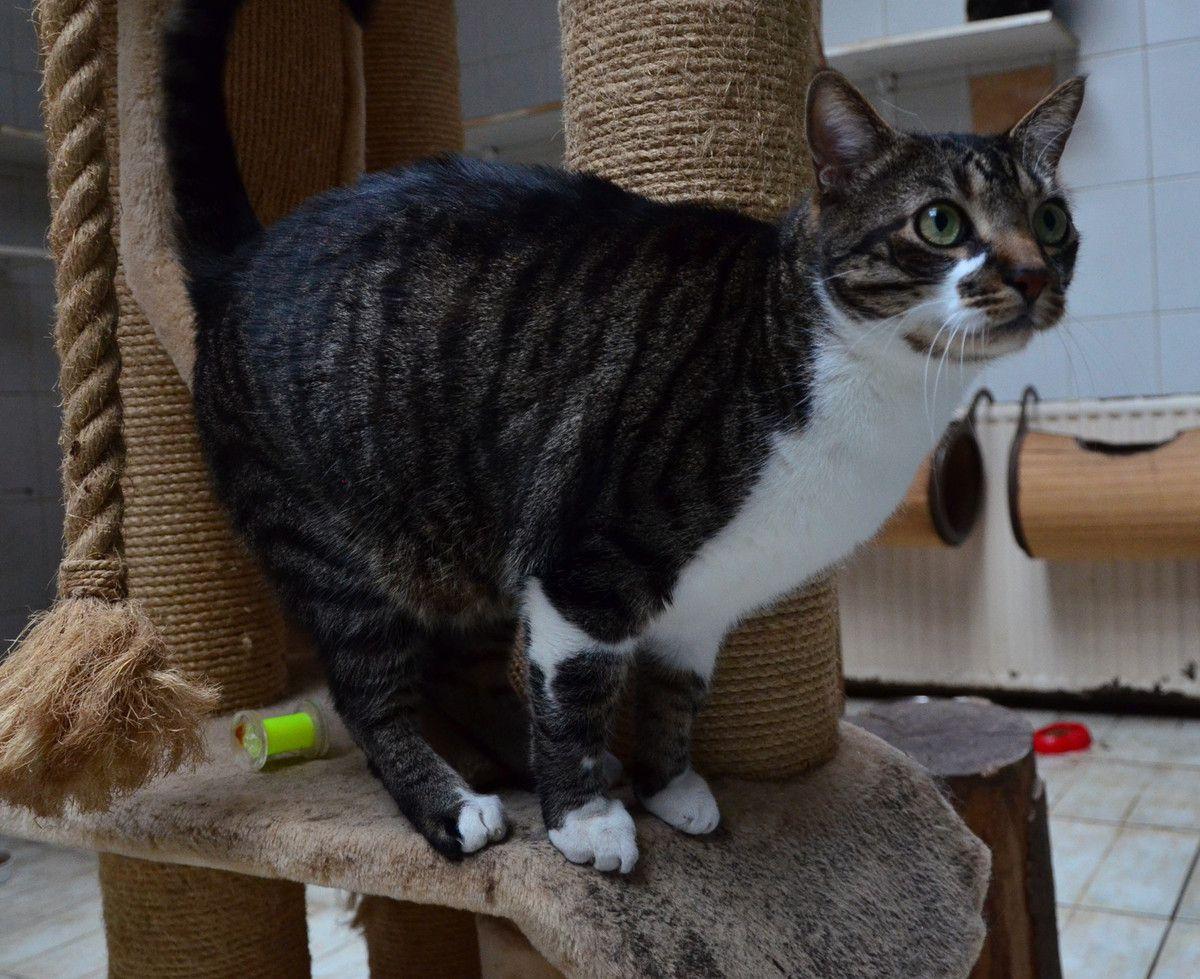 Il est adopté !: MINOU, très beau mâle castré de 4 ans