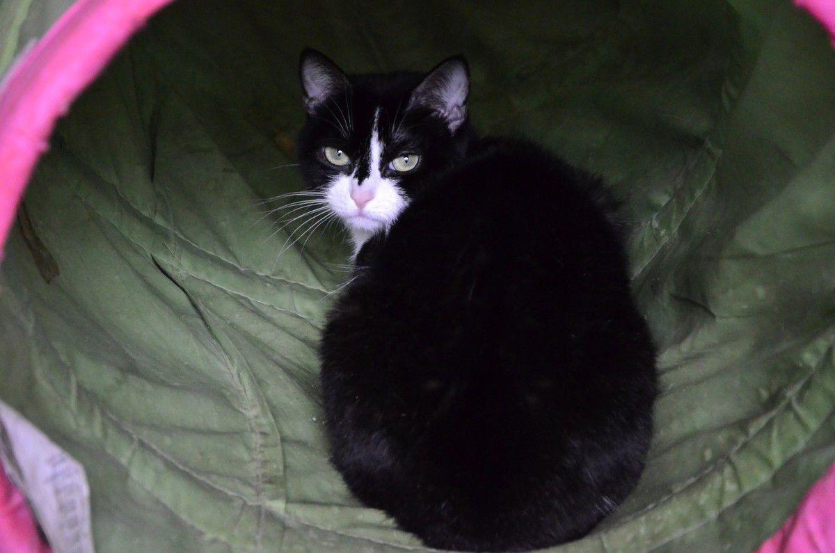 Elle est adoptée !!! : ANASTASIE, chatte noir &amp&#x3B; blanc de 2 ans