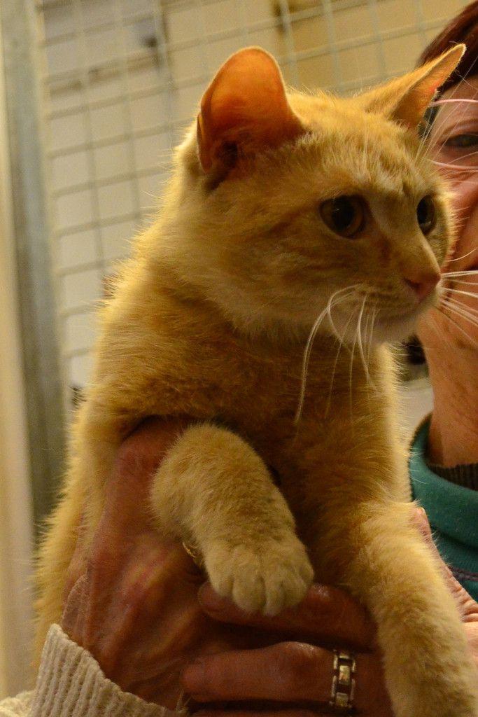 A adopter : WALDO, jeune mâle roux clair d'1 an