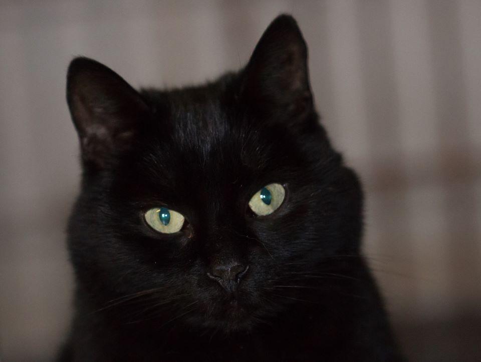 A adopter : PATELETTE, chatte stérilisée, née en 2010