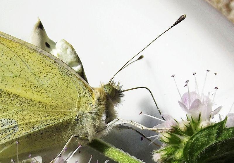 Anatomie du papillon