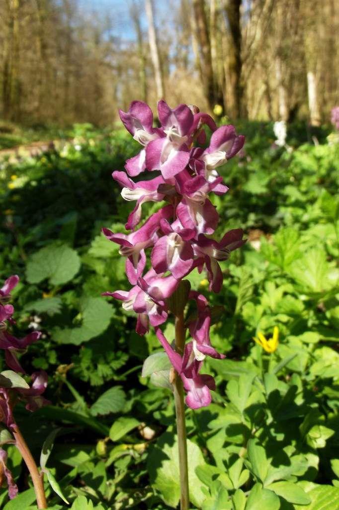 Orchis mâle (orchidée)