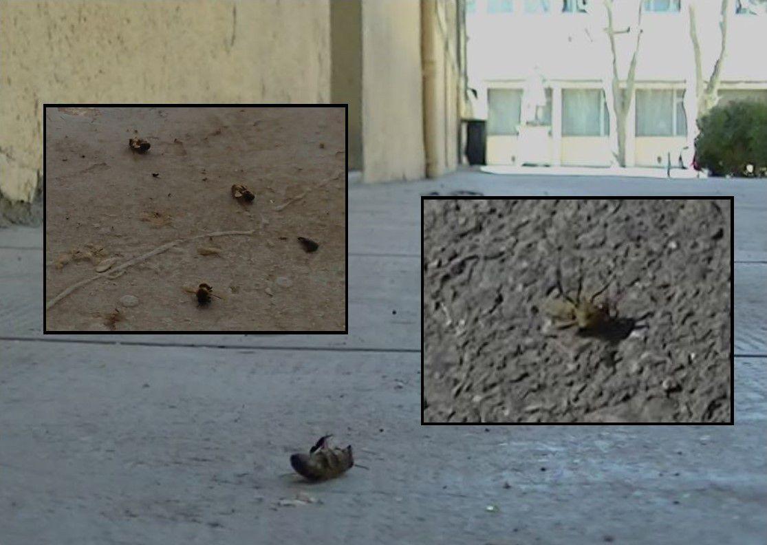 11h23 - Photo d'abeilles tout juste mortes, et deux arrêts sur images vidéo : abeille agonisante sur le dos, abeille gesticulant dans la poussière pour se relever.
