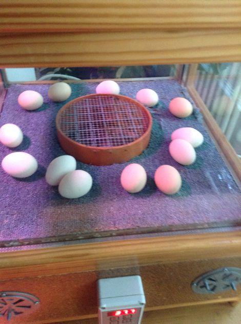 Wir brüten unsere eigenen Eier aus!