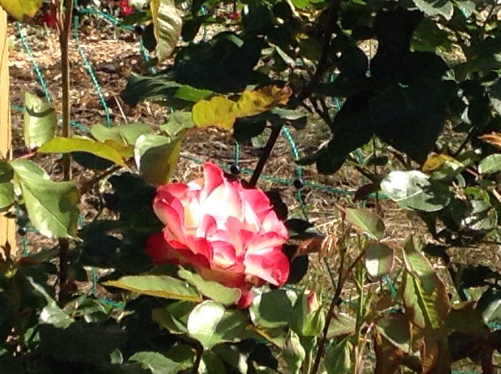 Rosenpracht - Ramblerrose in voller Blüte