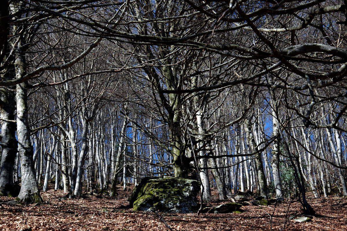 Une très belle forêt de châtaignier.