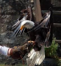 Idée de Sortie - Spectacle de fauconnerie à Provin et visite des remparts de la ville