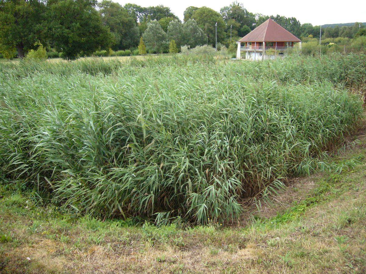 Lits filtrants plantés de roseaux pour assainissement collectif. Escamp, Yonne.
