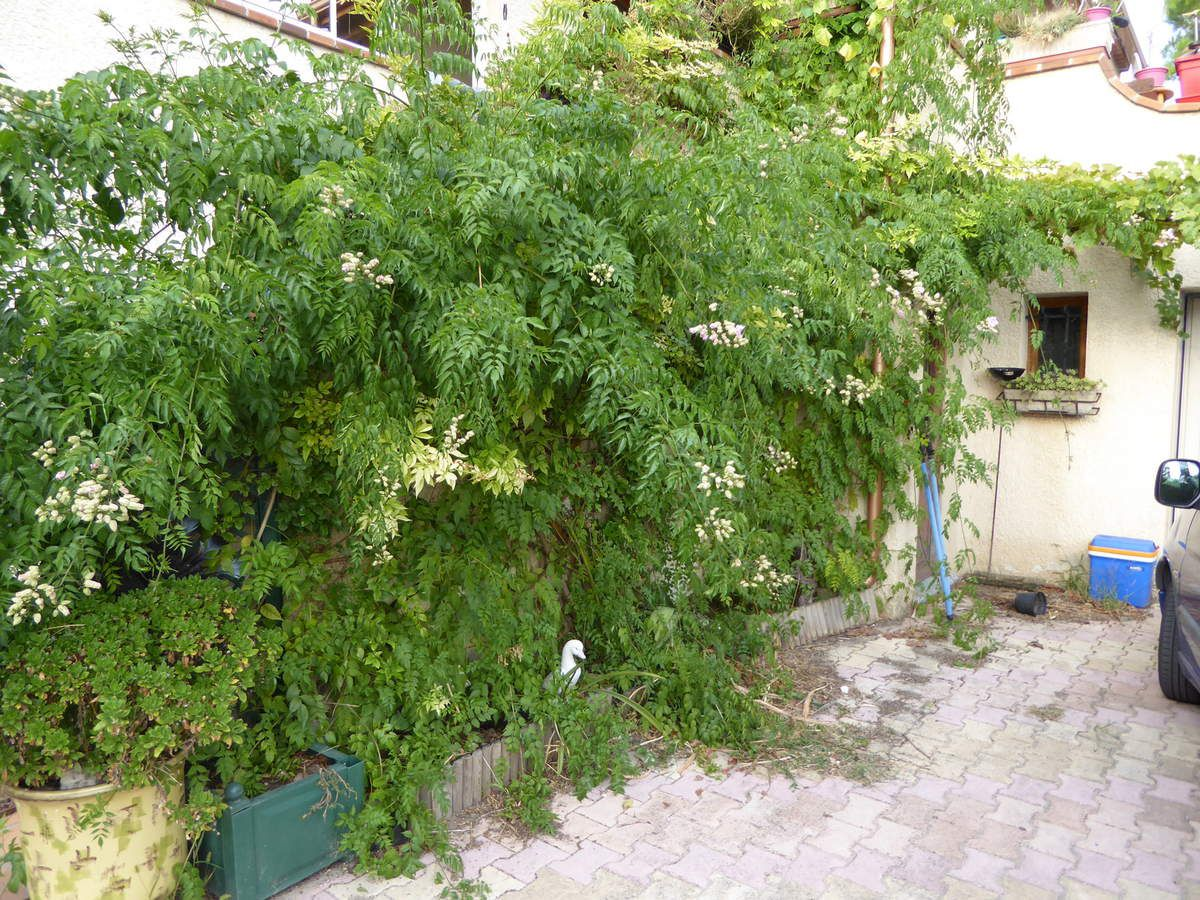 bignone rose, podranea ricosaliana. - le jardin des iris du barry