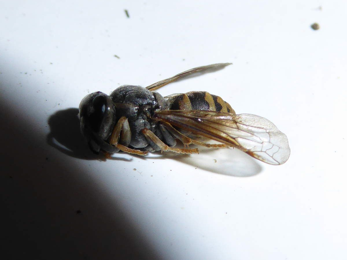 insecte trouvé dans une alvéole, Une guêpe ? un petit frelon ? Je ne sais pas..