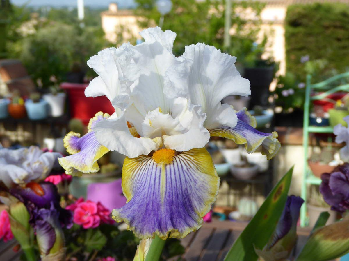 WILD ANGEL...Mon iris favori..