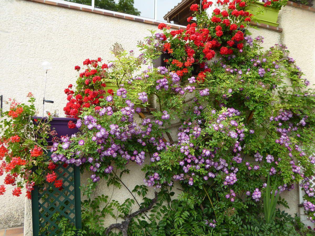 """Rosiers """"Veilchenblau"""" avec jardinières de géraniums devant l'escalier."""