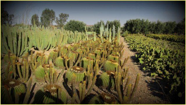 """ Marrakeh Cactus ...."""