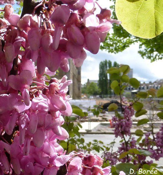 Fleurs d'arbre de Judée